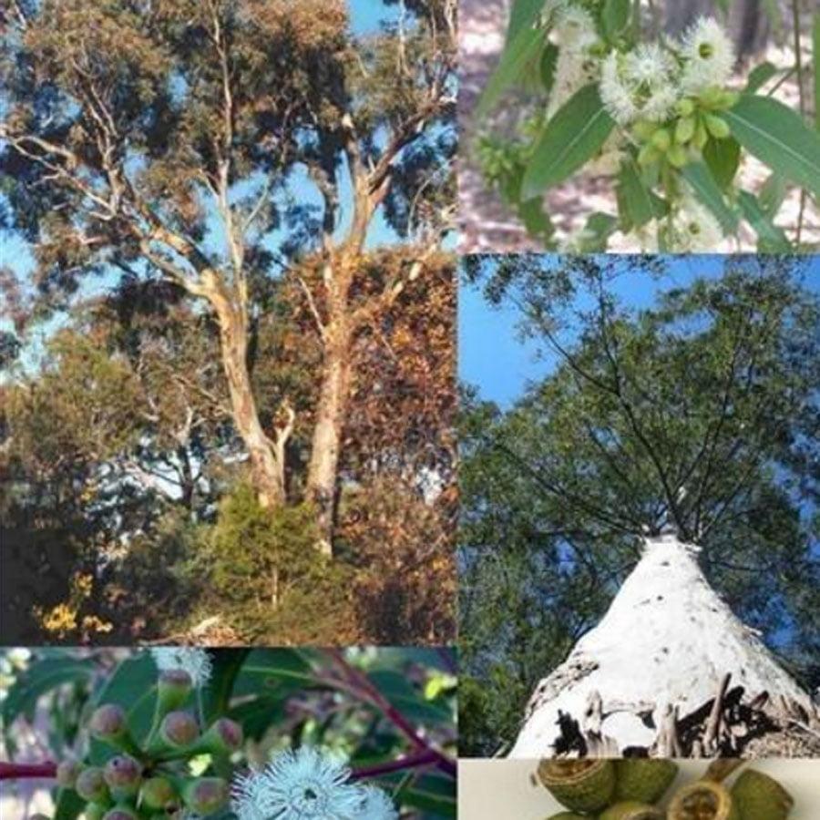 Eukalyptus Stecklinge