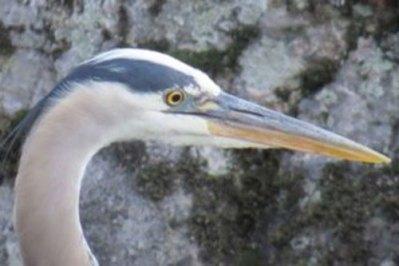 heron-closeup