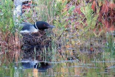 loon-nesting