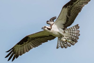 oscar-the-osprey-and-offspring