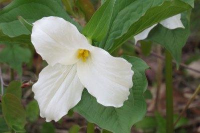 white-trillium1
