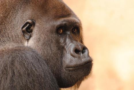 Fotografieren im Zoo: Gorilla im Zoo Hannover