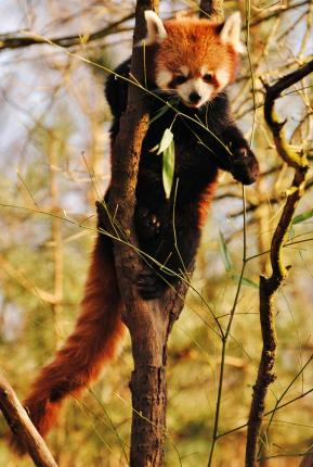Fotografieren im Zoo: Roter Panda im Zoo Hannover