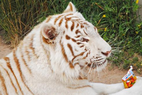 Reise Tunesien Erfahrungen Friguia Park Weißer Tiger