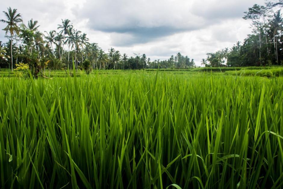 Ubud Reisfelder