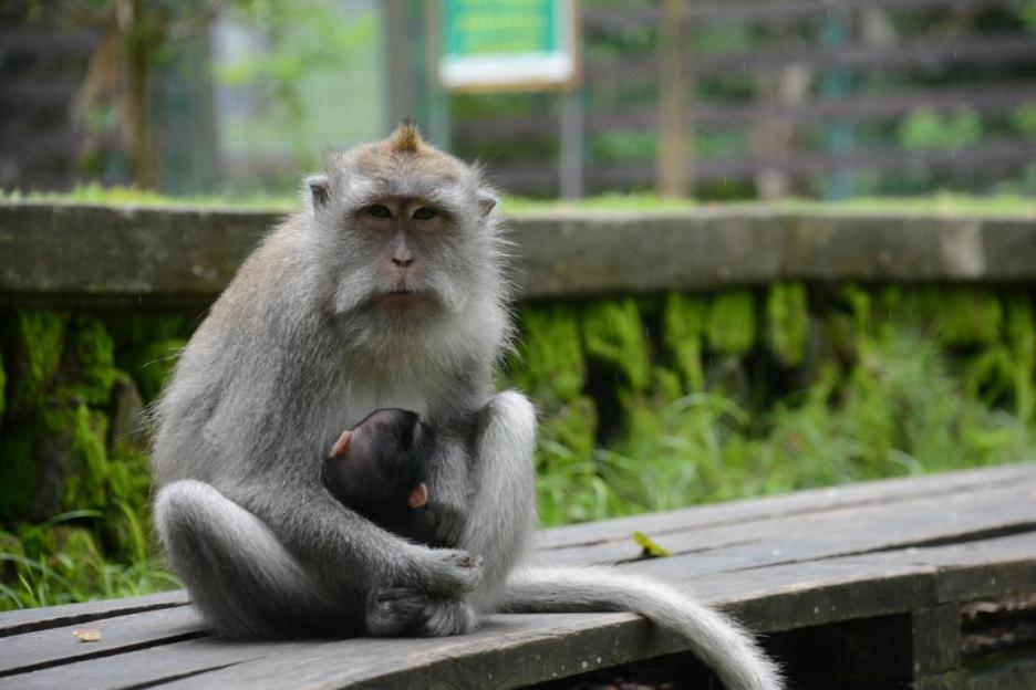 Monkey Forest Ubud Affenwald