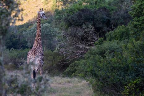 Garden Route Game Drive Giraffe