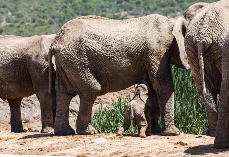 Addo Elephant Nationalpark Babyelefant trinkt