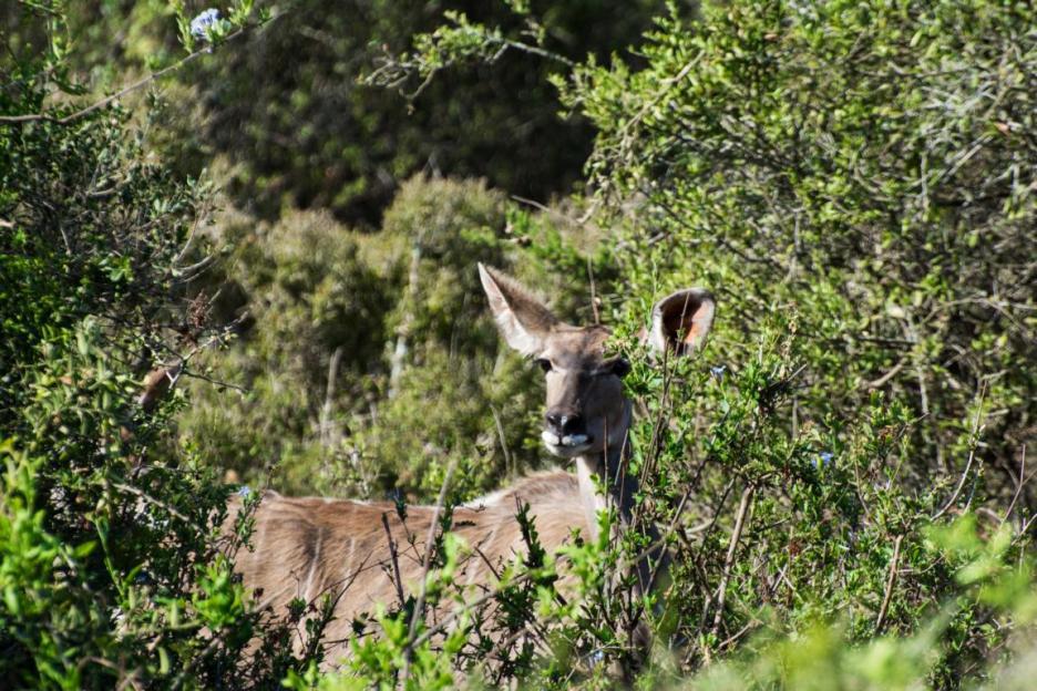 Addo Elephant Nationalpark Elefantenpark Kudu
