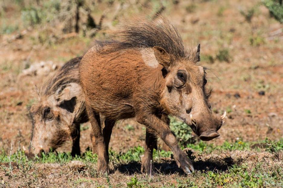 Elefantenpark Warzenschwein Südafrika