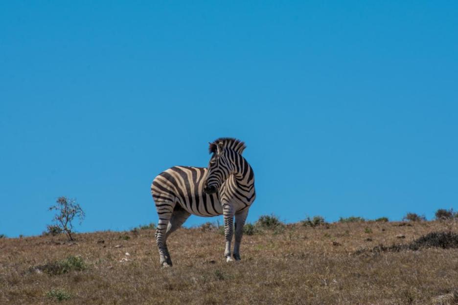 Elefantenpark Südafrika Zebra