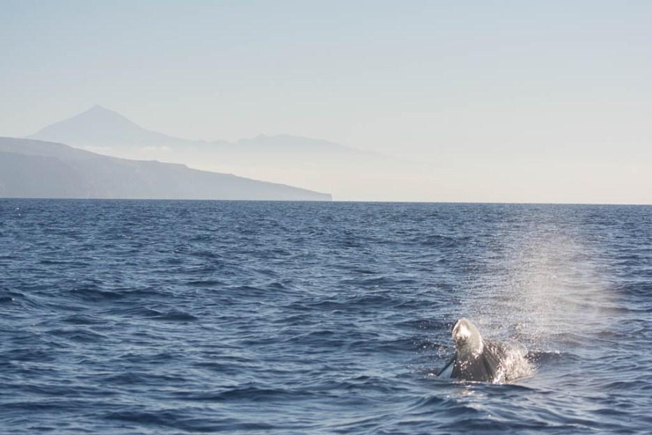 Whale Watching La Gomera Grindwal