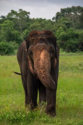 kaudulla nationalpark elefant