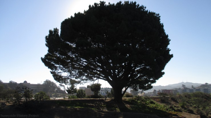 The massive north tree. Balboa Reservoir, Oct 2020. Sunnyside History Project. Photo: Amy O'Hair
