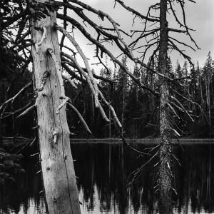 Yellowstone pines final