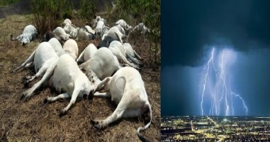 Fulani Herdsmen mourn as thunder strikes 19 cows to Death in Osun state