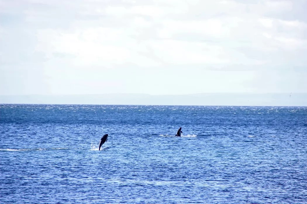 chile_pa_dolphins_sm