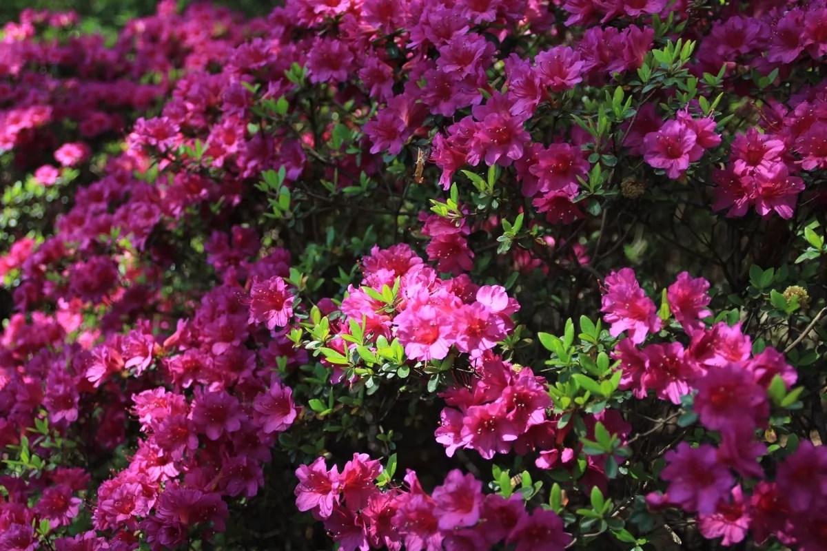 sakura_bk_flowers_sm