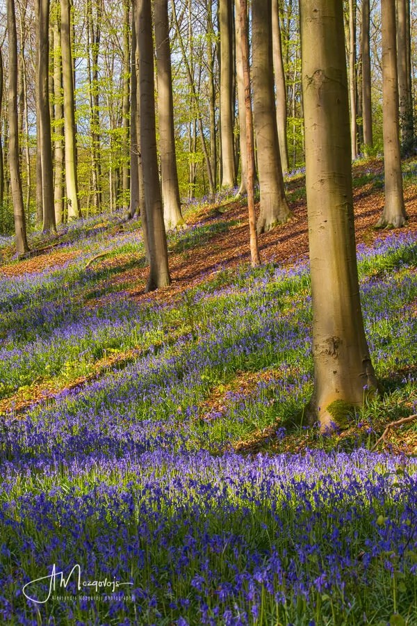 Bluebells covering the slopes of Hallerbos, Belgium