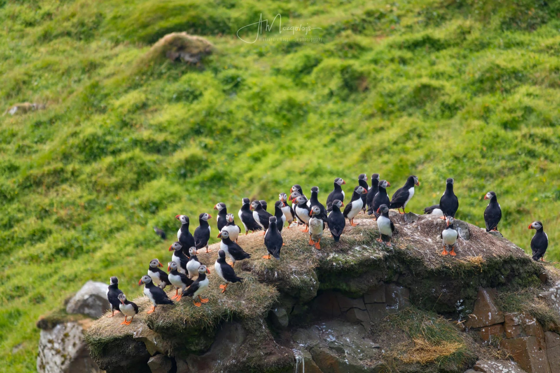 Puffins clustered on the rock