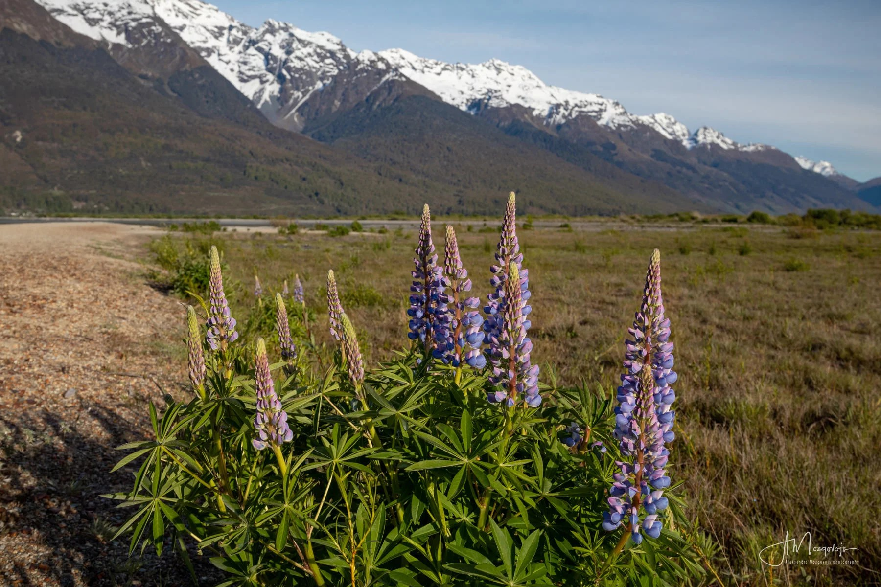 Wild Flowers in Glenorchy, New Zealand
