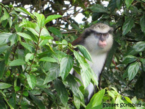 Mona Monkey - Grenada