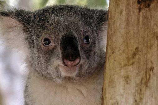 koala-687510_640