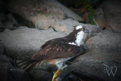 Osprey with Pickerel