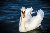 Mute Swan Wings