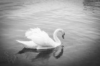 Mute Swan B&W