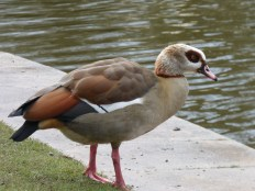 Egyptian Goose. Coombe Abbey in March.