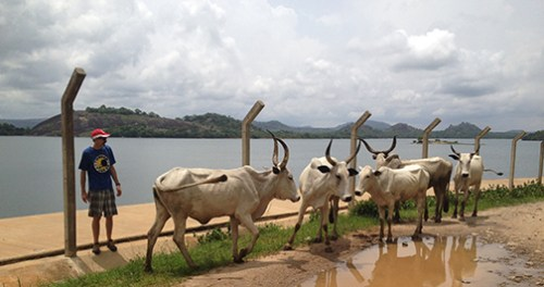 Usman Dam.Lyle and his cows