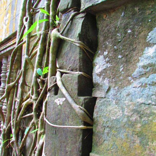 Bang Melea Tree Roots5