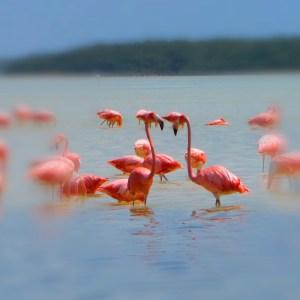 Flamingos, Yucatan