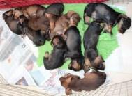 Indie pups 7 weeks (1) (800x585)