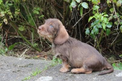 Indie pups 7 weeks (19) (800x534)
