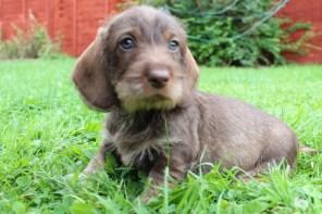Indie pups 7 weeks (20) (800x534)