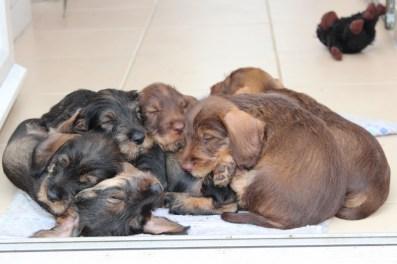 Indie pups 7 weeks (23) (800x533)