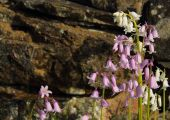 Bluebells 6404CropEdit 2013.05.31Blog