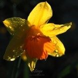 Daffodil 3792CropEdit 2013.04.04Blog