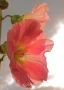 Hollyhock 0457CropEdit2 2013.10.09Blog