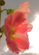 Hollyhock 0457CropEdit2 2013.10.09Blog
