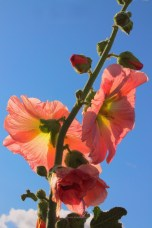 Hollyhock 9292Edit 2013.08.16Blog