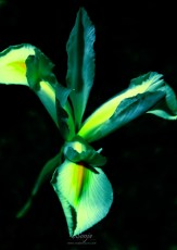 Iris 7064CropEdit 2013.06.16Blog