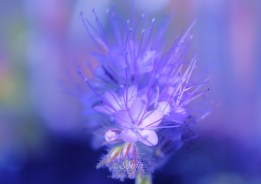 Phacelia 5839CropEdit 2013.05.22Blog