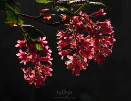 Ribes4896 2012.03.27CropEditBlog