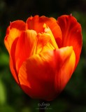 Tulip 6035CropEdit 2013.05.25Blog