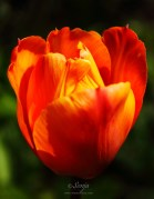 Tulip 6035CropEdit 2013.05.25Blog