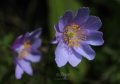 Wood Anemone 5200CropEdit 2013.05.10Blog