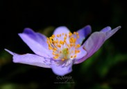 Wood Anemone 5220CropEdit 2013.05.10Blog